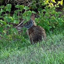 Rabbit-Yvonne-Rosen