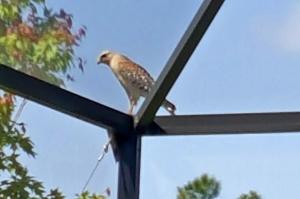 Hawk at Berkshire Park